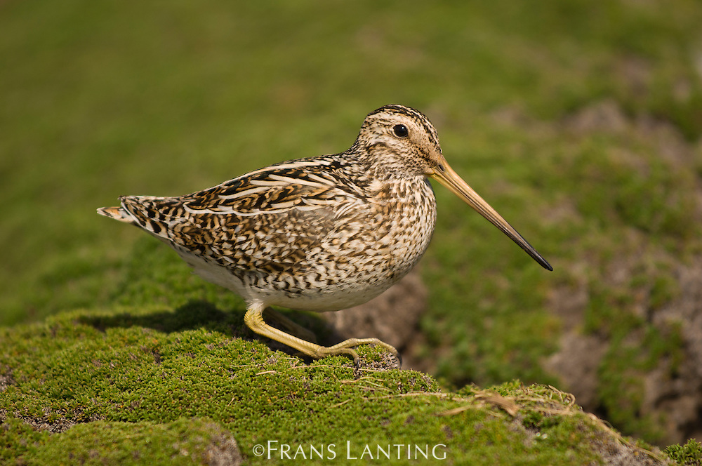 Magellanic snipe, Gallinago magellanica, Falkland Islands