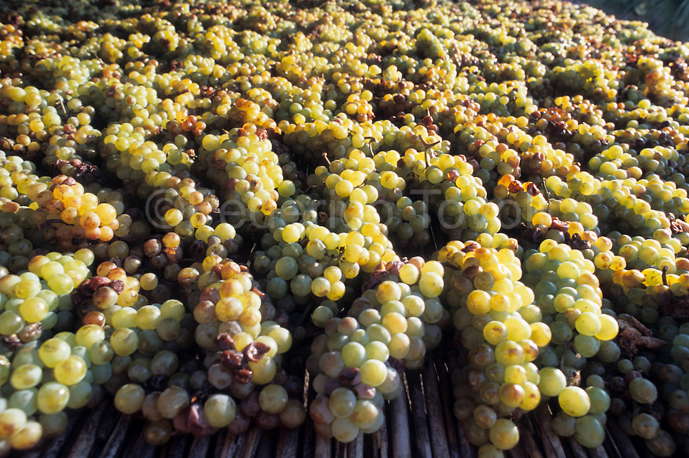 Grapes on the sun for to do Aleatico
