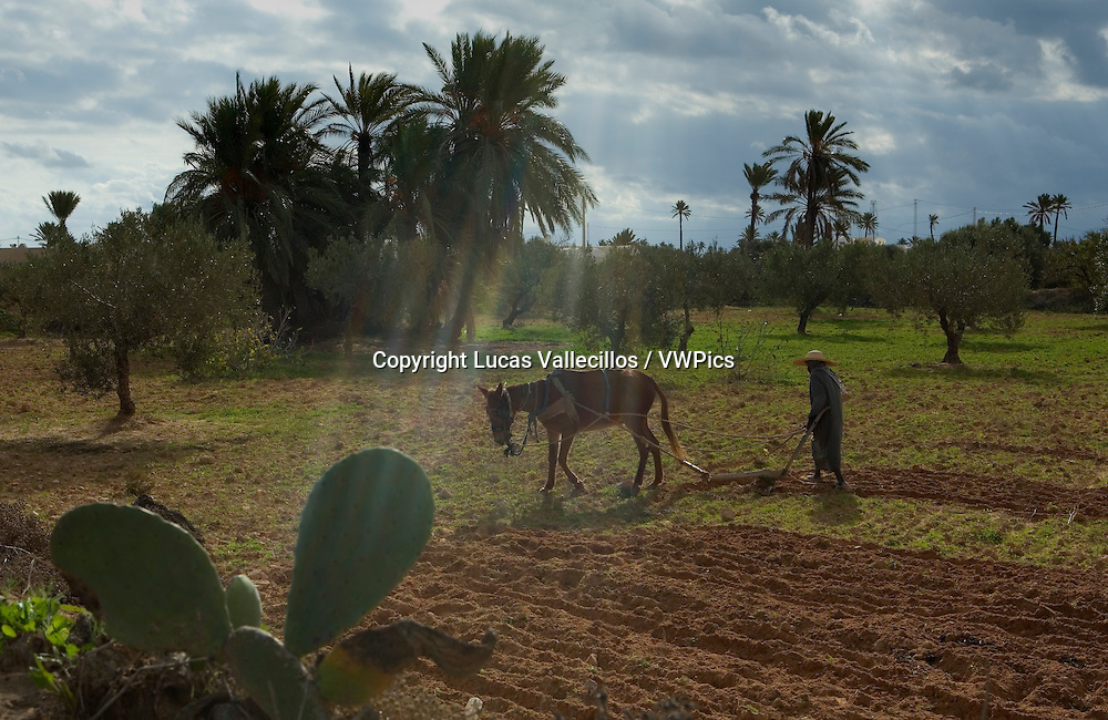 Tunisia.Djerba.plowing the land. Near  Midou.