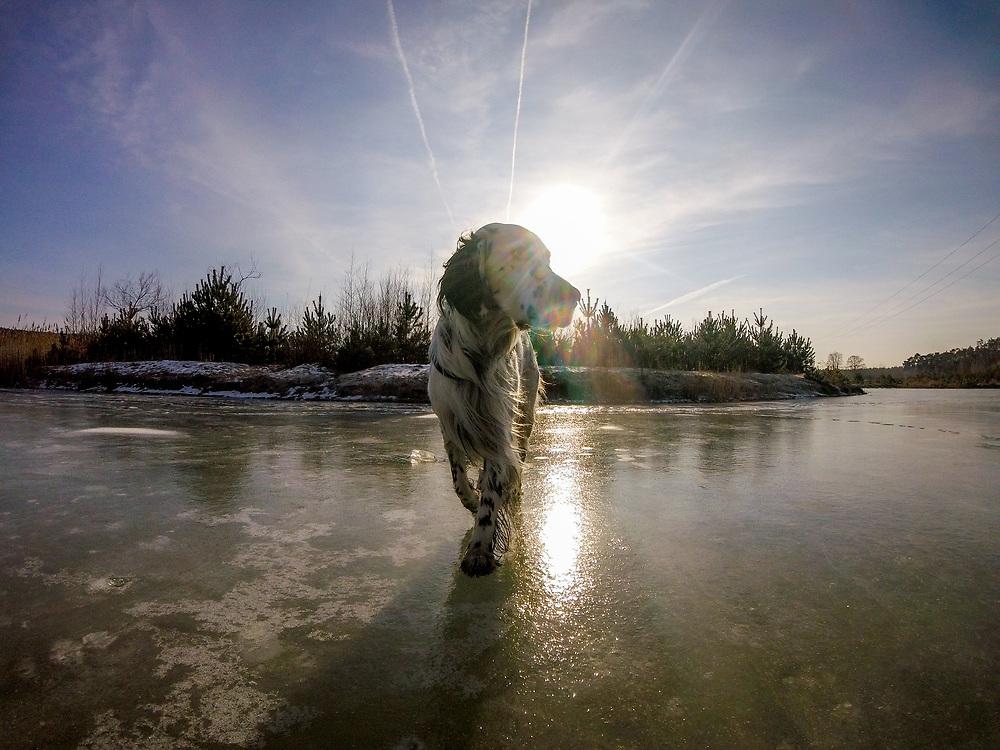 """English Setter """"Rudy"""" läuft am 30.01. 2019 über seinen gefrorenen Teich in Stara Lysa, (Tschechische Republik).  Rudy wurde Anfang Januar 2017 geboren."""