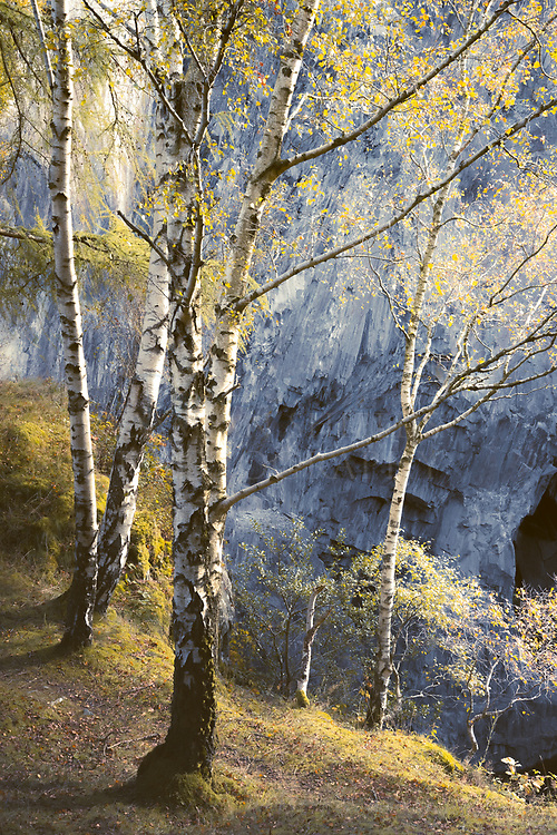 Autumn birches, Hodge close quarry, Cumbria