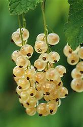 Whitecurrant 'White Grape'