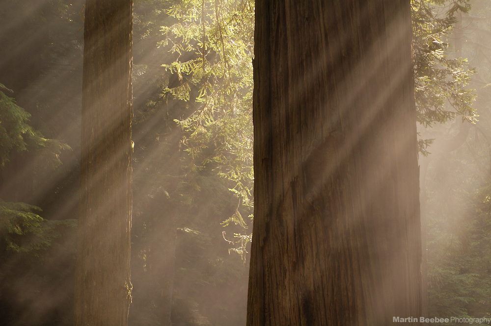 Sunbeams stream through redwood trees (Sequoia sempervirens), the tallest trees on earth, Jedediah Smith Redwoods State Park, California