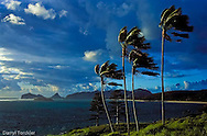 Kentia palms blowing in the tradewinds at Lord Howe Island.