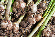 Freshly harvested garlic from Ben Nevis Farm, Shaw Island, WA