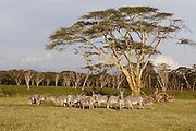 Grevy's Zebra<br /> Equus grevyi<br /> Grazing on green grass at perennial swamp<br /> Lewa Wildlife Conservancy, Northern Kenya
