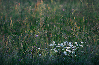 (Leucanthemum vulgare) The oxeye daisy -  marguerite. It is also sometimes called moon daisy or dog daisy, Mullerthal trail, Mullerthal, Luxembourg