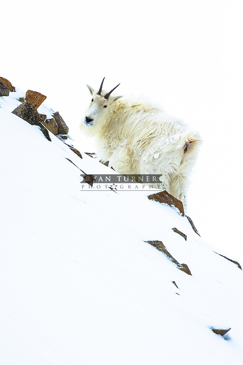 A mountain goat high in the alpine in the Winter.