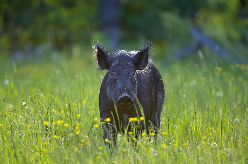 Wild boar (Sus scrofa) Surahammar, Sweden.