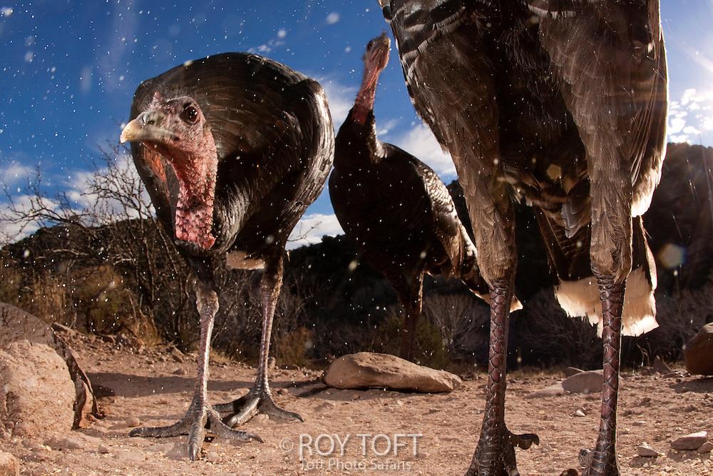 Wild Turkeys (Meleagris gallopavo) feeding, Los Ojos, Mexico