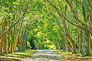 Canopy of trees, East Hampton, Hither Lane, New York