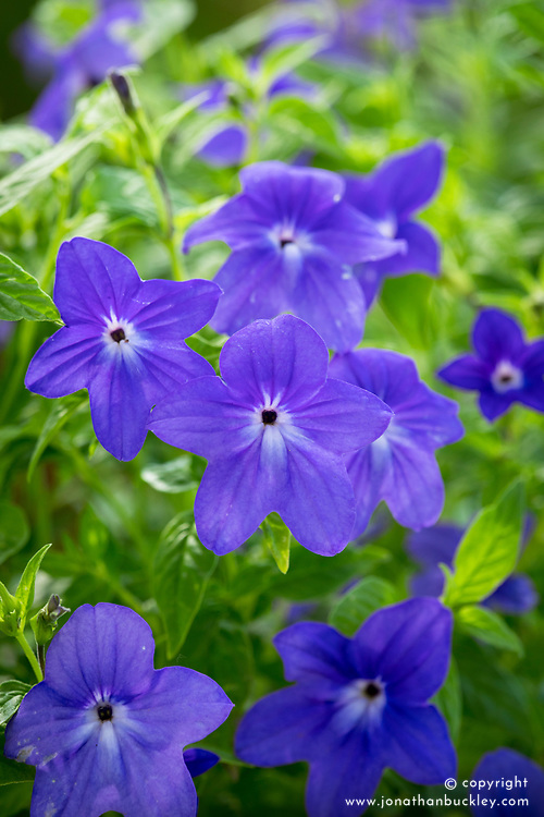 Browallia speciosa major 'Blue Bells'