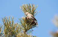 A female House Finch works on a pine cone in a pine tree trying to get at the seeds.