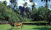 Pferde im Gehege, Nuka Hiva, Französisch Polynesien * Horses in fence, Nuka Hiva, French Polynesia