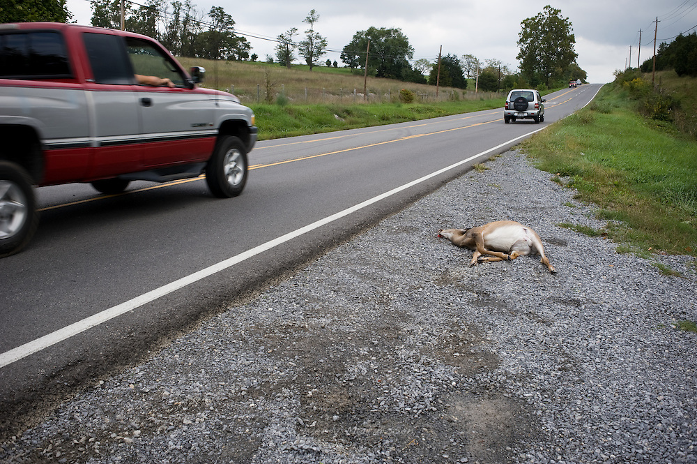 Road kill. A dead deer lays on the side of the road after fatally been hit by a passing car. Virginia, United States