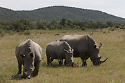 Rhino seen in the Waterberg National Park, Northern Province, North of Pretoria..©Zute Lightfoot.www.lightfootphoto.com
