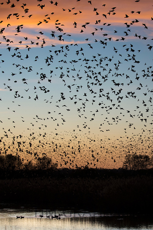 Spectacular sunset murmuration of starlings, thousands of birds   in flight to roost and ducks in Somerset Levels marshes, UK