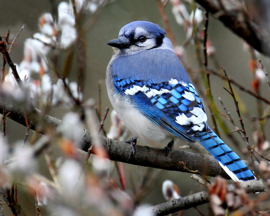 A blue jay in a Winter blooming bush in February of 2008.