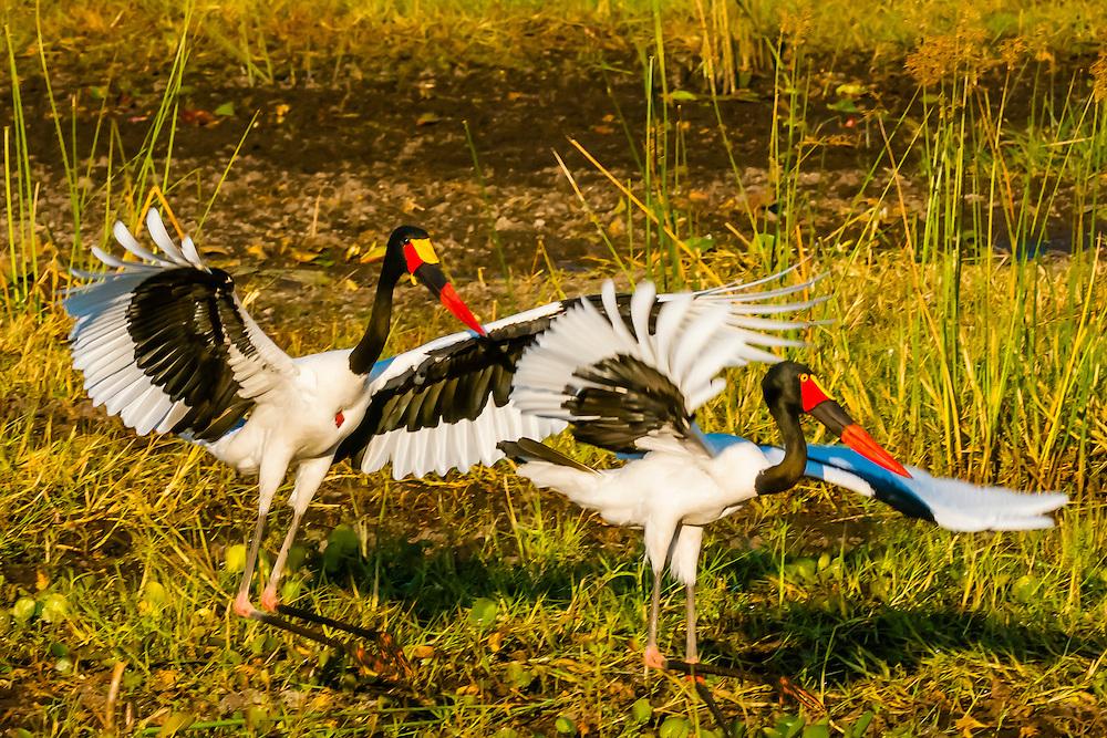 Saddle-billed storks flapping wings, near Kwara Camp, Okavango Delta, Botswana.