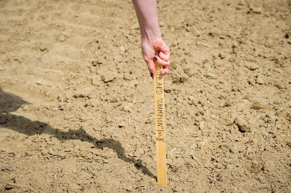 Hand planting wooden stick that labels vegetable in garden in Upper Marlboro, Maryland, USA