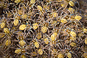 Nest of raft spiderlings (Dolomedes fimbriatus). Arne, Dorset, UK.