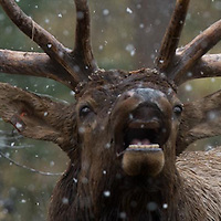 bull elk bugling in forest during snow storm