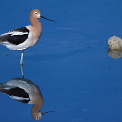 A male American Avocet, Recurvirostra americana, in a salt water pool on Antelope Island State Park in Utah's Great Salt Lake.  Brine flies on water.  Syracuse, UT