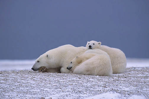 Polar Bear, (Ursus maritimus)  Mother and cubs resting. Cape Churchill, Manitoba. Canada.