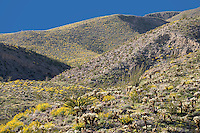 Brittlebush (Encelia farinosa), Cholla (Opuntia fulgida), and Ocotillo (Fouquieria splendens) in springtime on the mountainsides, Anza-Borrego Desert, California, USA