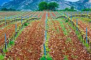 Vineyard. Ayegui, Estella comarca, Navarra, Spain, Europe.