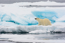 Polar Bear (Ursus maritimus) walking on ice in Spitsbergen, Svalbard