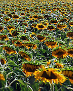 Israel, Field of sunflowers