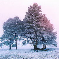 Frozen in the Fog. Trees flocked with ice, Evergreen, CO.