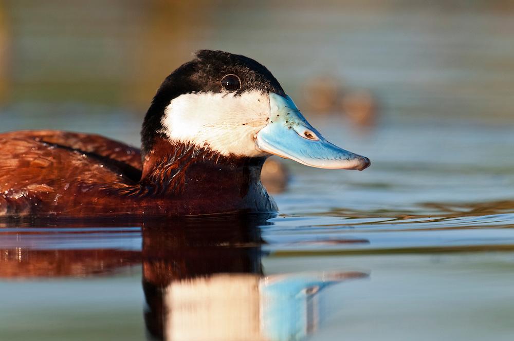 Ruddy Duck, Oxyura jamaicensis, male, Day County, South Dakota