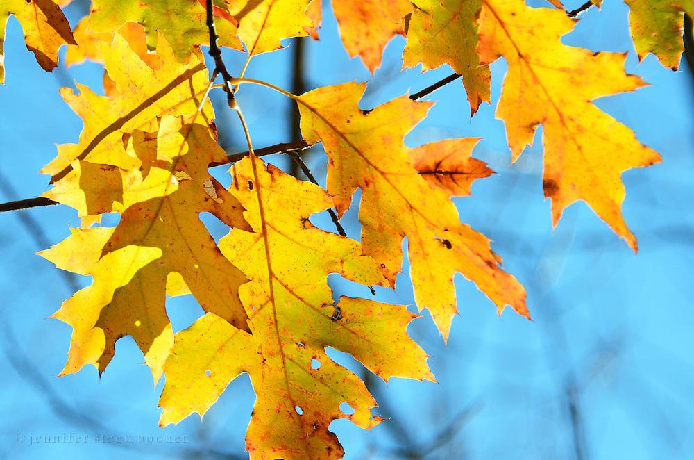 Golden autumn oak leaves backlit against a blue sky, Acadia National Park, Maine.