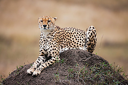 One of three male cheetahs ( Acinonyx jubatus ) resting on a termite mound anxiously watching as his brothers return, Masai Mara, Kenya, Africa