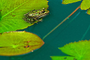 Northern leopard frog  (Lithobates pipiens) on lily pad in pond of Assiniboine Park garden.<br />