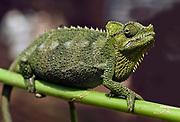 von Höhnel's Chameleon, Chamaeleo hoehnelii, Kenya