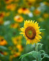 Sunflower. Image taken with a Leica SL2 camera and 90-280 mm lens