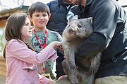 Common Wombat <br /> Vombatus ursinus<br /> Children meeting orphaned wombat named Tina (mother was hit by car). Will be released to the wild. <br /> Bonorong Wildlife Sanctuary, Tasmania, Australia<br /> *Captive- rescued and in rehabilitation program