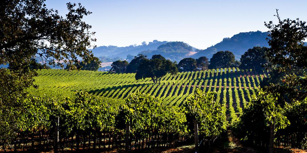 Vineyard on rolling hills in Napa Valley, CA