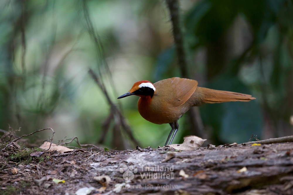 The rail-babbler or Malaysian rail-babbler (Eupetes macrocerus) is a strange, rail-like, brown and pied ground living bird. It is the only species in the genus Eupetes and family Eupetidae. It lives the floor of primary forest