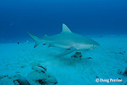 bull shark, Carcharhinus leucas, female in seasonal breeding aggregation, with fish hook in mouth, Playa del Carmen, Cancun, Quintana Roo, Yucatan Peninsula, Mexico ( Caribbean Sea )