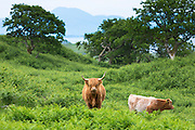 Highland Cattle,  Bos primigenius, with horns with calf on Isle of Mull in the Inner Hebrides and Western Isles, West Coast of Scotland