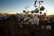 West Texas cotton near Snyder, a small city north of Abilene.