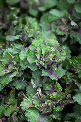 Kalettes - Flower sprouts - Brassica oleracea