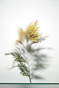 decorative garden pine tree twig