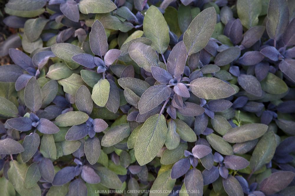 Purple sage, a culinary herb