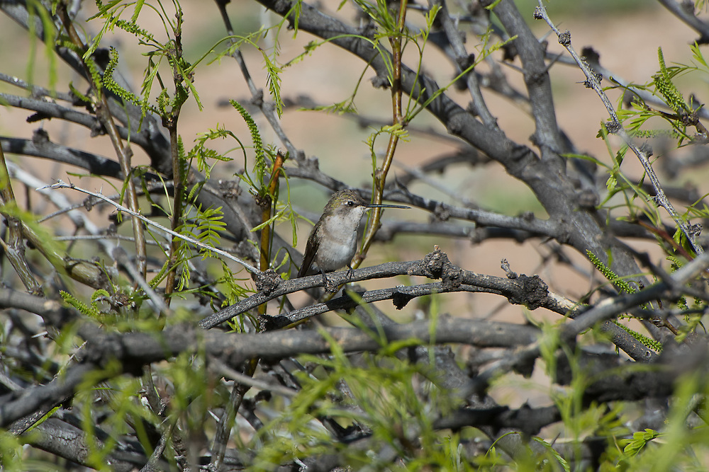 The black-chinned hummingbird is a common hummingbird at lower elevations in most of the American Southwest and parts of the Pacific Northwest, occasionally wintering near the Gulf of Mexico, but generally moving much further south along Mexico's Pacific Coast for the colder months of the year. This female photographed resting in a mesquite bush near La Joya, New Mexico - is not as flashy and brightly-colored as her male counterpart, but is very active among the desert wildflowers and somewhat aggressive to anyone getting in her way!