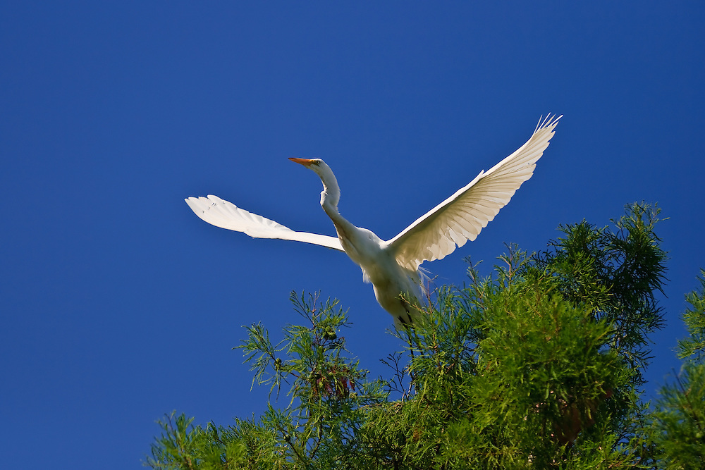 Great egret (Ardea alba) in flight after launching from a tree at the natural rookery at the St. Augustine Alligator Farm, Anastasia Island, St. Augustine, Florida.